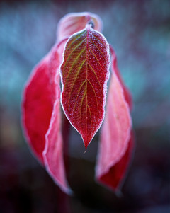 red leaves frost copy
