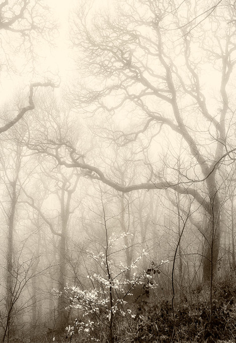 Beech in the Fog