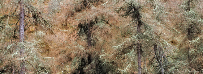 Lichen coverd Larches-small