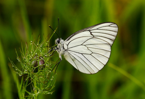 Black Veined White, D100