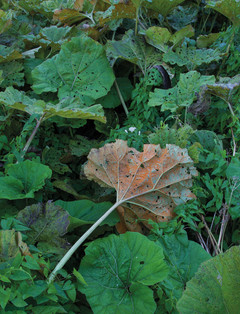 Butterburr leaves