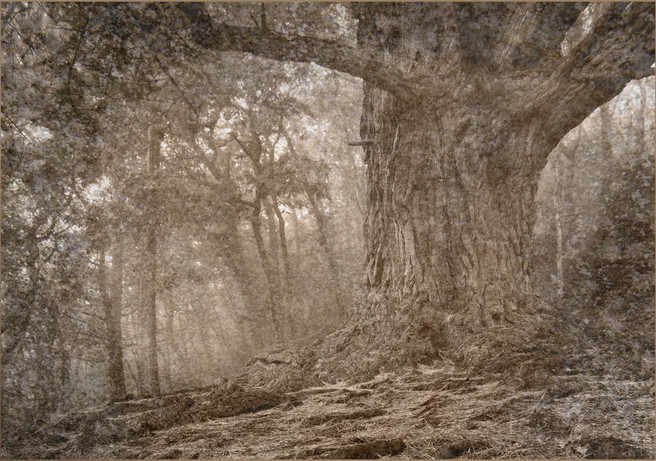 Old Tree in the Woods