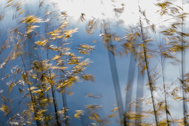 Afternoon sun burnishes the flowers of Stipa gigantea against a darkening sky. In the breeze the stems dance back and forth, back and forth, as if impatient for rain.