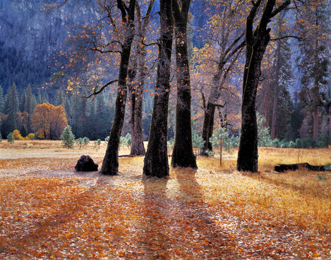 Black Oaks Yosemite Valley