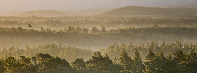 Scotland, Scottish Highlands, Cairngorms National Park. Mist rising at dawn over the Caledonian Forest of the Rothiemurchus estate, in the Cairngorms National Park.