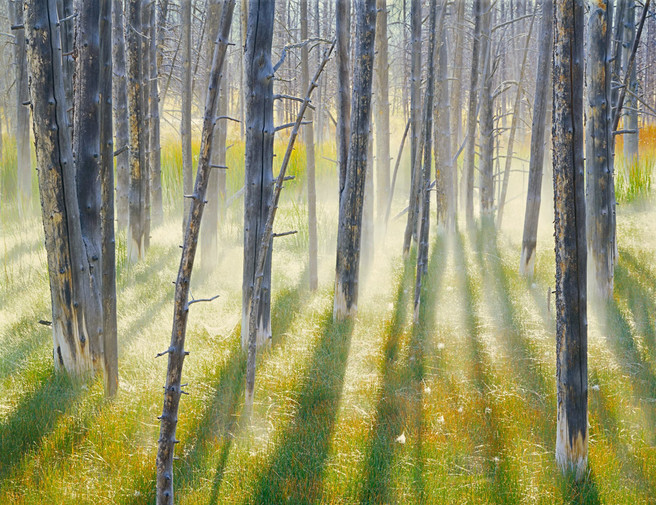 Wick Trees, Morning Mist, Yellowstone National Park, Wyoming