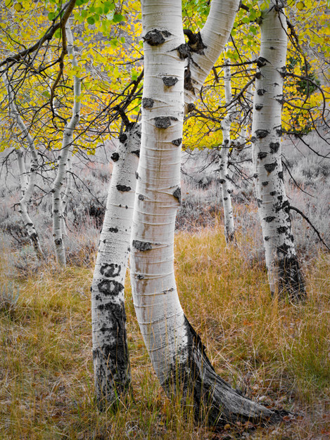 Intertwined Aspen, June Lake Loop, California