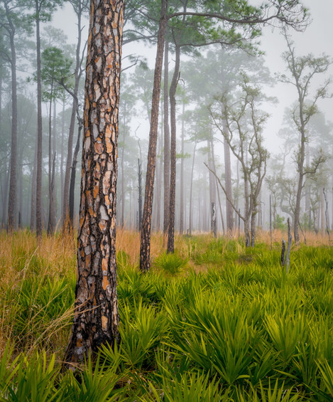 Longleaf Pine, Fog, Bay Flats Recreation area, Florida