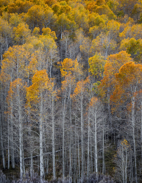 Tall Aspen, Fall, Conway Summit, California