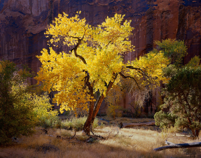 Sunlit Cottonwood, Coyote Gulch, Utah