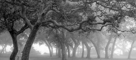 Trees in Fog, Maxwell Gunter Recreation Area, Niceville, Florida