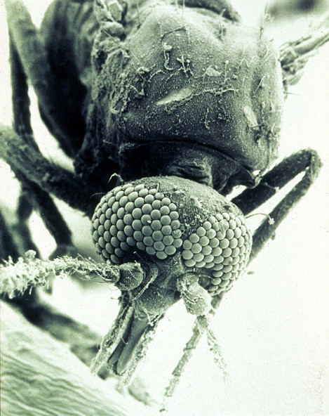 CSIRO ScienceImage 1791 SEM of a biting midge