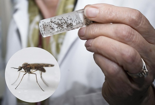 Jenny Mordue, retired professor in the department of zoology at the university of Aberdeen, has found that the Scottish midges prefer tall men and fat women.