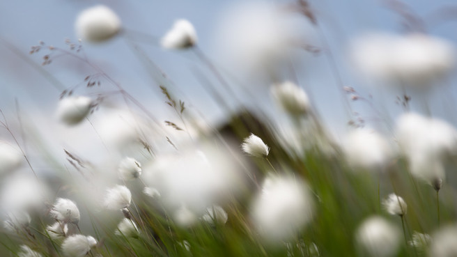 Cotton Grass, from Maen Llia 2015