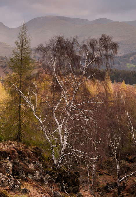 Holme Fell Birch