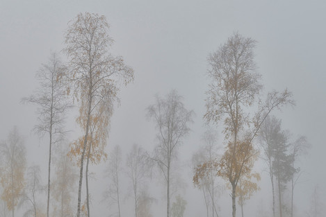 Gathering Of The Birches, Swedish Lapland, Norrbotten County