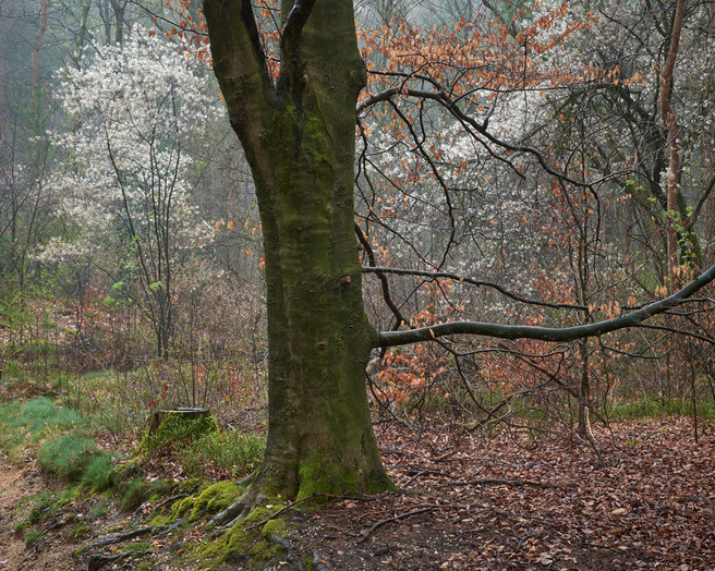 Marc-Hermans-Beech-and-Spring-Blossom,-Bergher-Bos-mag
