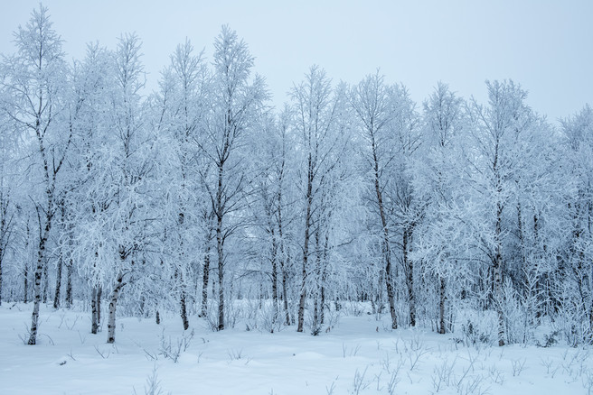 Frosted Birch Trees, Finland, David Moorhouse, Flickr