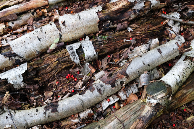 Decaying birch logs, Kirkby Moor nature reserve, Lincolnshire, Peter Roworth, website