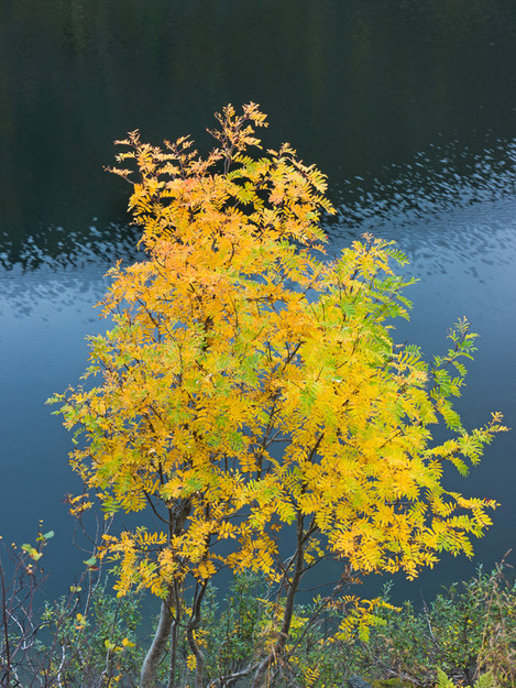 Mountain Ash, Kvaloya, Norway, Growing on the banks of a lake lower down, the leaves of this tree contrast beautifully with the dark blue waters, AdamPierzchala, website