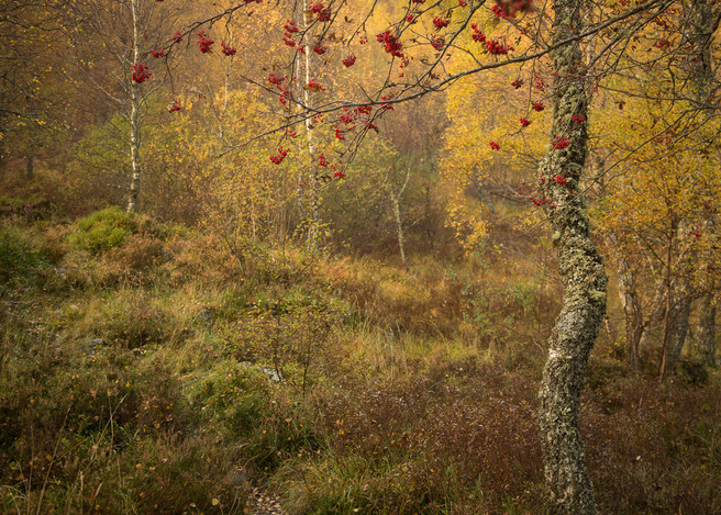 The Colours of AutumnCraigellachie National Nature Reserve - Aviemore, Scotland by Phil Johnson, website
