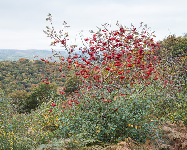 Rowan berries, Hunter's Path, Above the Teign Valley, Eastern Dartmoor, Terry Hurt, website