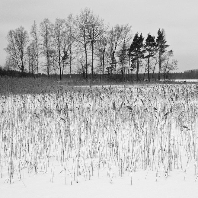 lakeside reeds and trees 6904
