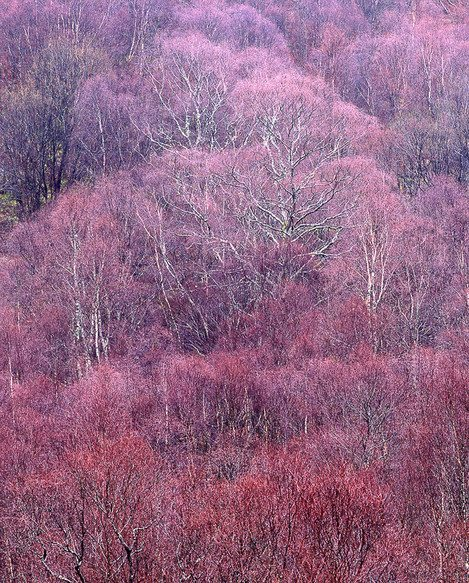 Large format photography - Late Winter Birches, Kinlochleven