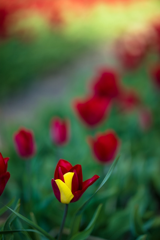 Charles Nyst - Tulips from Holland 3
