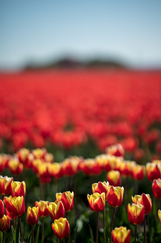Charles Nyst - Tulips from Holland 4