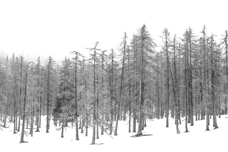 Line of larch trees in the fog (p.118)