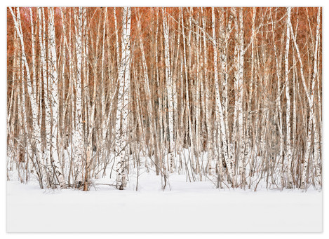 <strong>Winter Birch</strong> trees shimmer with the colourful promise of spring and bring to mind the cycle of life, death and re-birth.