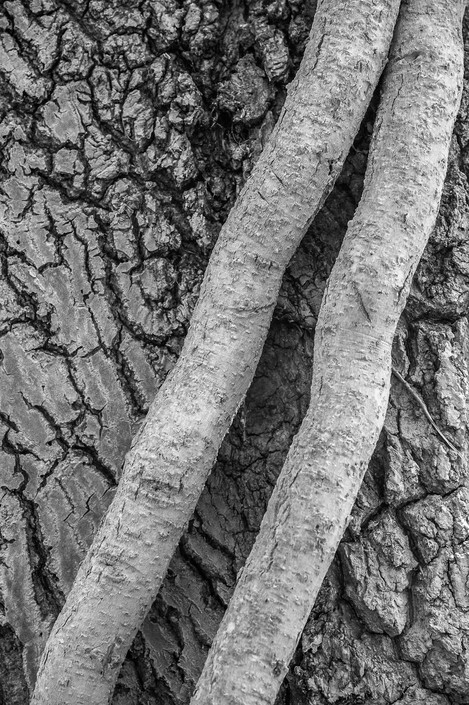 Concentrating on details. Ivy stems winding around an oak tree.